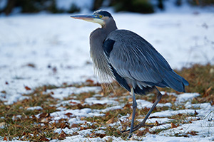 A Great Blue Heron watches quietly in the snow on a cold winter day at Schramm State Recreation Area. - Nebraska Wildlife Photograph