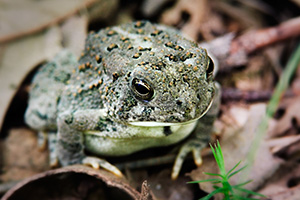 A Woodhouse's Toad, almost blending into the background, rests on the forest floor at Schramm State Recreation Area, Nebraska. - Nebraska Photograph