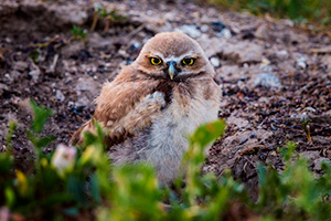 A burrowing owl chick at the Badlands National Park, South Dakota. - South Dakota Wildlife Photograph