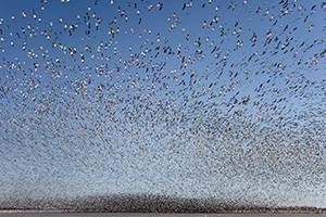 In this photograph, some of the birds are discernible, while the majority exist only as a large black wave in the background. This really exemplifies the shear magnitude of this flock of geese on the lake at Squaw Creek National Wildlife Refuge. - Missouri Photograph
