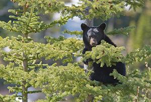 A Black Bear cub hangs on tightly to a pine tree, his mother not far below him keeping watch. - Canada Photograph