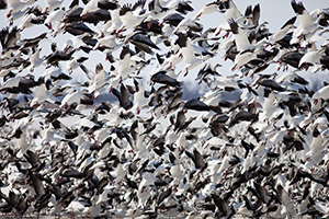 A group of snow geese take to the sky at Squaw Creek National Wildlife Refuge in Missouri. - Missouri Photograph
