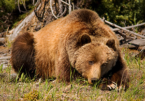 A Grizzly Bear rests quietly in a field after having just woken up from his several month nap. - Canada Photograph