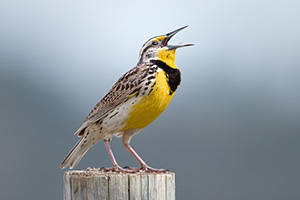 A Western Meadowlark, the state bird of Nebraska, sings on a fencepost at Ft. Niobrara National Wildlife Refuge. - Nebraska Photograph