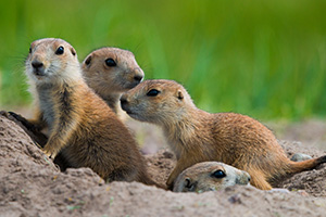Prairie dog pups venture out of their hole at Ft. Niobrara National Wildlife Refuge. - Nebraska Photograph