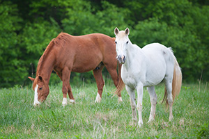 A pair of horses graze in a field deep in the Ozarks of Arkansas. - Arkansas Photograph