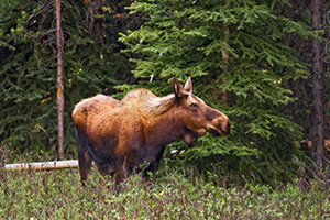 A lone moose grazes in a secluded area in Kananaskis Country, Alberta, Canada. - Canada Photograph