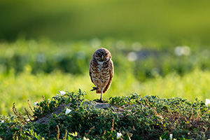 Unlike other owls, burrowing owls are active during the day, especially in the spring when gathering food. These owls prefer wide open areas and they are often found perching near their burrow on fence posts and trees.  Here, a burrowing owl watches from a distance in Badlands National Park, South Dakota. - South Dakota Wildlife Photograph