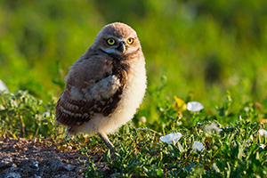 An owlet takes in the warmth of the morning sun in Badlands National Park, South Dakota. - South Dakota Wildlife Photograph