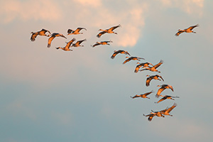 Sandhill Cranes soar high above  the Platte River in Central Nebraska on a mid-March evening. - Nebraska Photograph