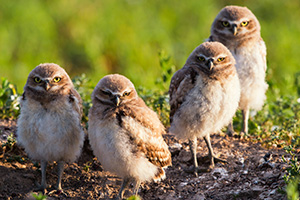 Four burrowing owlets look on in curiosity just outside their home in a prairie dog town in Badlands National Park, South Dakota. - South Dakota Wildlife Photograph