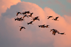 Sandhill cranes soar high while the clouds glow with the warmth of the setting sun. - Nebraska Photograph