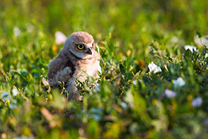 An owlet explores his surroundings after leaving his home in Badlands National Park, South Dakota. - South Dakota Wildlife Photograph