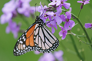 A Monarch butterfly rests on a Dame's Rocket at Schramm State Recreation Area in eastern Nebraska. - Nebraska Photograph