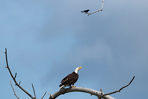 A wildlife photograph of a crow and an eagle in rural Nebraska Photography. - Nebraska Photograph