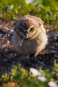 A burrowing owl chick picks up a fallen feather in Badlands National Park, South Dakota. - South Dakota Wildlife Photograph