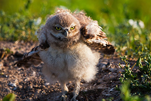 An owlet shakes his feathers just after sunrise in Badlands National Park, South Dakota. - South Dakota Wildlife Photograph