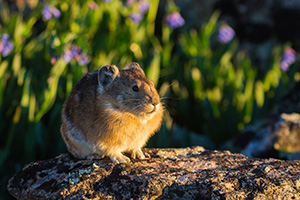 A pika on the boulders on the tundra of Rocky Mountain National Park stops briefly from foraging to bask in the morning sun.  Pikas scurry quickly around the rocks high upon the tundra at Rocky Mountain National Park, and often their movement is what I see before I see animal itself.  I enjoy watching them come from their craggy homes and harvest plants, some quite large which they either amazingly shove into their mouth or take back to their homes.  When threatened or when re-entering their home they let out a high pitched call.  While photographing this particular pika, I moved just a little and startled him.  He quickly climbed a rock and then let out his warning yelp telling me to back off!  A little critter with a bold character. - Colorado Wildlife Photograph Photograph