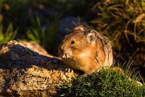 A pika on the boulders on the tundra of Rocky Mountain National Park munches on a tundra flower during a warm mid-summer day. - Colorado Wildlife Photograph Photograph