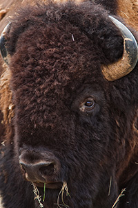 A buffalo profile at Ft. Niobrara National Wildlife Refuge. - Nebraska Photograph
