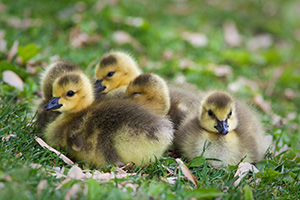 A gaggle of newly hatched gosling huddle together on the green spring grass. - Nebraska Photograph