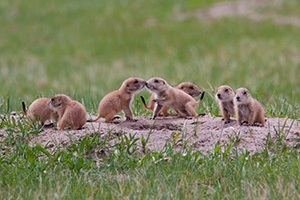 A set of prairie dog pups venture out of their hole at Ft. Niobrara National Wildlife Refuge. - Nebraska Photograph