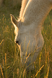 A white stallion grazes contently at Mahoney State Park in Eastern Nebraska. - Nebraska Photograph