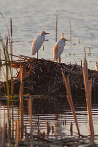 Two egrets rest for a short time at Jack Sinn Wildlife Management Area in Eastern Nebraska. - Nebraska Photograph