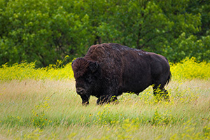 A buffalo (bison) moves slowly through a field in the North Unit of Theodore Roosevelt National Park. - North Dakota Wildlife Photograph