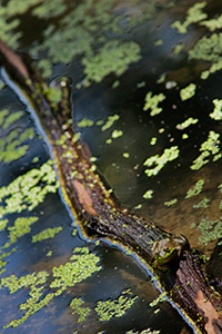 A frog, almost blending into the background, rests on a floating log in Schramm State Recreation Area, Nebraska. - Nebraska Photograph