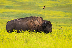 Slowly, but deliberately, on a dreary day this buffalo moved slowly through the prairie of the North Unit of Theodore Roosevelt.  While moving through the tall bright yellow wildflowers, two birds continually swooped near the buffalo.  Ignoring the two dive bombers, he meandered on into the distance. - North Dakota Wildlife Photograph