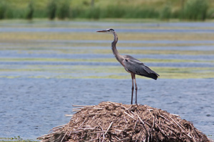 An elegant Blue Heron rests shortly before taking flight. - Nebraska Photograph