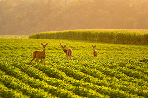 A family of deer grazes on a farmer's field in DeSoto National Wildlife Refuge. - Nebraska Photograph