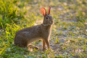 A friendly bunny is seen hanging out at DeSoto National Wildlife Refuge. - Nebraska Photograph