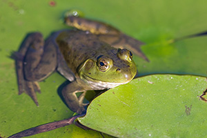 A frog hangs out on a lily pad outside Lauritzen Gardens in Omaha, Nebraska. - Nebraska Photograph