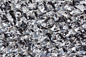 A large grouping of snow geese take to the sky at Squaw Creek National Wildlife Refuge in Missouri.  In the viewfinder they appeared as a blur of white and black during this event.  There were over 1 million birds on the lake on this day. - Missouri Photograph