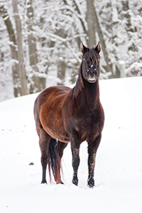 A horse weathers the cold snow at Mahoney State Park, Nebraska. - Nebraska Photograph