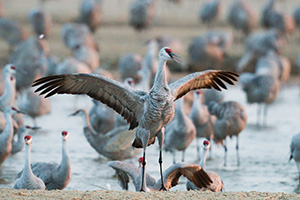 In Central Nebraska a Sandhill Crane spreads out his wings. - Nebraska Photograph