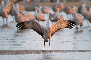 In Central Nebraska a Sandhill Crane spreads his wings in the early morning sun. - Nebraska Photograph