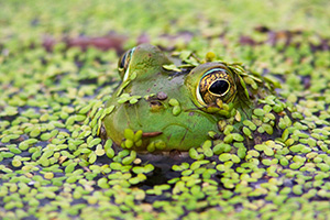 Silent and mostly submerged, a frog watches his surroundings closely. - Nebraska Photograph
