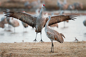 In Central Nebraska a Sandhill Crane jumps to impress a potential mate. - Nebraska Photograph