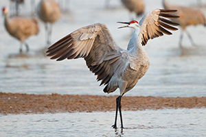 A Sandhill Crane struts on a sandbar on the Platte River in Nebraska. - Nebraska Photograph