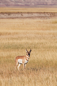 A pronghorn (american antelope) stops briefly on the vast prairie in the Badlands in South Dakota. - South Dakota Wildlife Photograph