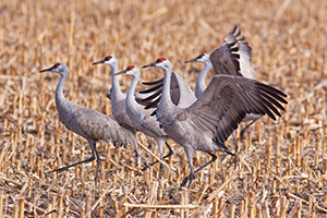 A sandhill crane dances for his fellow cranes in a cornfield in the warm early morning spring sun. - Nebraska Photograph