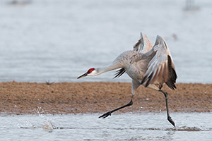 A Sandhill Crane runs on the Platte River in Nebraska on a cool early spring morning. - Nebraska Photograph