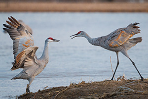Sandhill Cranes fight on a sandbar on the Platte River in Nebraska on a cool early spring morning. - Nebraska Photograph