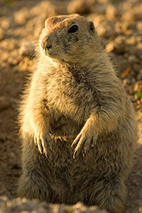 A Prairie Dog pokes his head out of a hole. - South Dakota Photograph