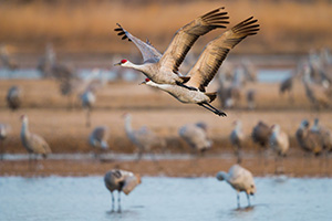 A pair of Sandhill Crane soar high above the Platte River in the early morning just after sunrise. - Nebraska Photograph