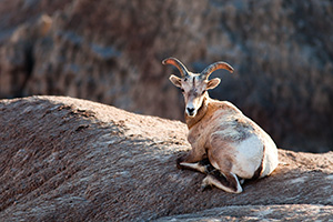 A bighorn sheep rests in the Badlands in South Dakota. - South Dakota Photograph