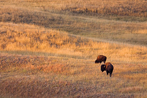Two Buffalo and the rolling hills of Wind Cave National Park in South Dakota. - South Dakota Photograph